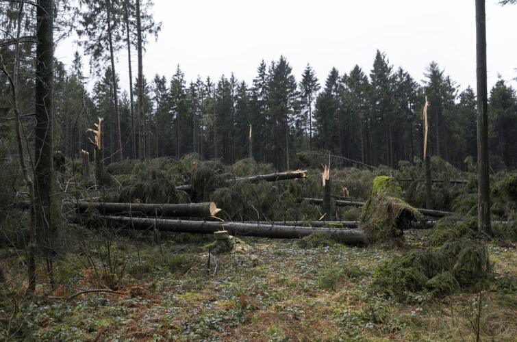 Résineux sectionnés par la tornade de Roetgen (9), le 13 mars 2019, au nord-ouest de Lammersdorf. Source : Andy Holz
