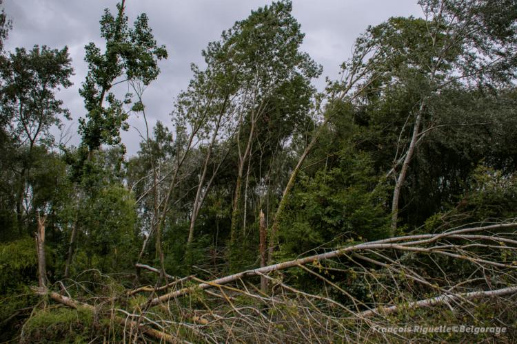 Dommages constatés dans un bois à Huppaye, en province du Brabant Wallon, à la suite du passage d'une rafale descendante le 4 juin 2019. Crédit photo : François Riguelle