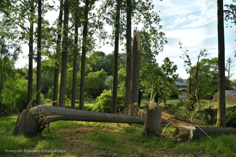Peupliers sectionnés par une probable microrafale à Jodoigne-Souveraine, en province du Brabant Wallon, le 4 juin 2019. Crédit photo : François Riguelle.