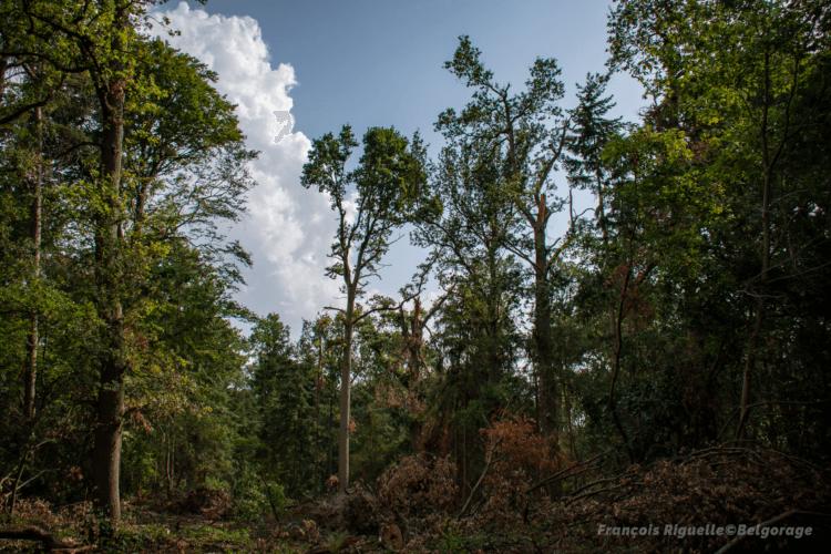 Une très probable rafale descendante a laissé une véritable tranchée dans le Bois du Haut-Saint-Pierre, à Jodoigne-Souveraine, le 4 juin 2019. Pour l'anecdote, ce bois a déjà été touché deux fois par des tornades, la première le 28 juin 2011 et la seconde le 8 août 2014. Crédit photo : François Riguelle