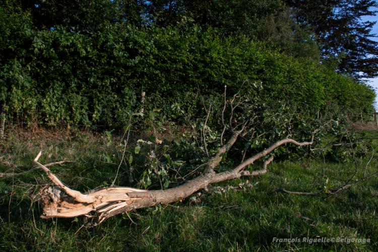 Branche de chêne d'un diamètre élevé brisée par de fortes rafales convectives à Jodoigne-Souveraine, en province du Brabant Wallon, le 20 juillet 2019. Crédit photo : François Riguelle