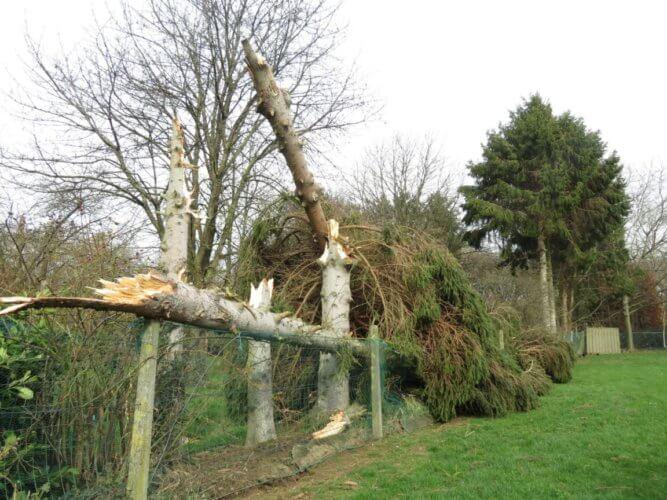 Epicéas sectionnés à Briegden (Lanaken) en province de Limbourg, suite à la probable tornade du 20 février 2020. Source : HBvL. Crédit photo : Joge