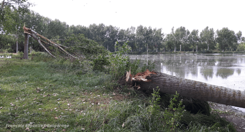 Peupliers brisés par la microrafale de Zétrud-Lumay, en province du Brabant Wallon, le 13 août 2020. Crédit photo : François Riguelle