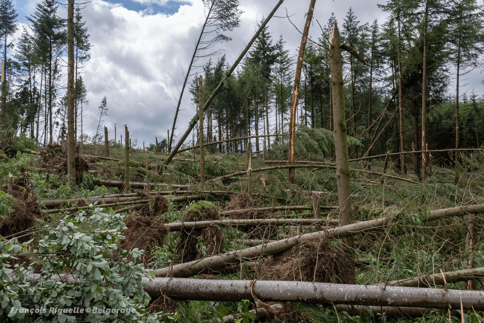 Parcelle forestière de résineux ravagée près du village de Cetturu, en province de Liège, après le passage de la tornade du 27 juin 2021.